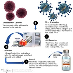 Attenuated vaccine workflow